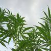 hemp grown in U.S.